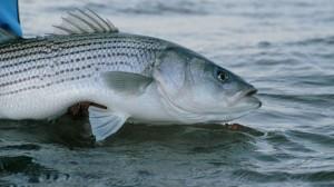 Striped_Bass