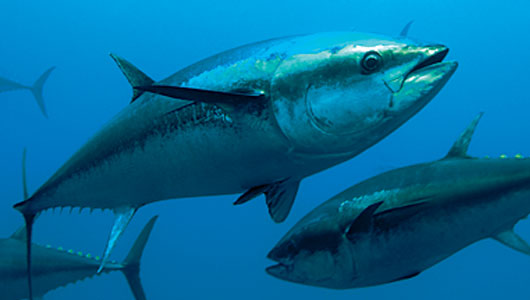 Changes to california recreational tuna regulations now in for California fish and game regulations