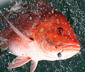 Gulf Coast Red Snapper Season Opens on Weekends Beginning May 7