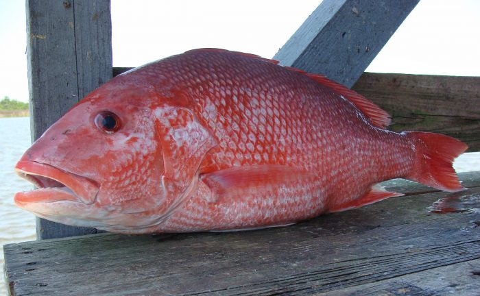 Recreational red snapper season extended for Snapper fish florida